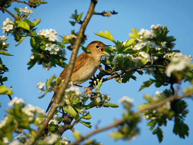 Nightingales